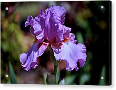 Spring Iris Bloom Acrylic Print