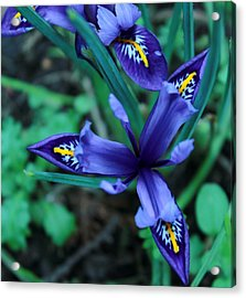 Spring Iris Acrylic Print by Theresa Selley