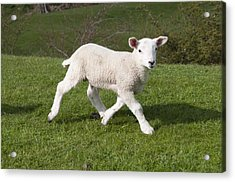 Acrylic Print featuring the photograph Spring Lamb by David Isaacson