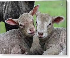 Spring Lambs Acrylic Print by Pete Hemington