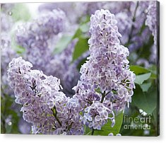 Spring Lilacs In Bloom Acrylic Print