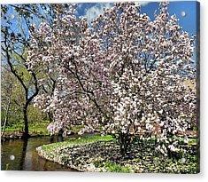 Spring Magnolia Acrylic Print by Janice Drew