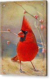 Spring Male Norther Cardinal Acrylic Print