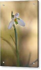 Acrylic Print featuring the photograph Spring Messenger by Annie Snel