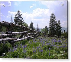 Spring Mountain Lupines 2 Acrylic Print by Crystal Miller