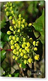 Spring Oregon Grape Acrylic Print