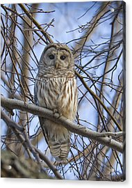 Spring Owl Acrylic Print by Timothy McIntyre