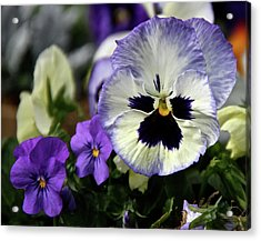 Spring Pansy Flower Acrylic Print by Ed  Riche