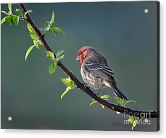 Acrylic Print featuring the photograph Song Bird In Spring by Nava Thompson