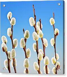 Spring Pussy Willows Acrylic Print by Elena Elisseeva
