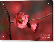 Spring Richness - Flowering Quince Acrylic Print by Joy Watson