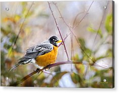 Spring Robin Acrylic Print by Christina Rollo