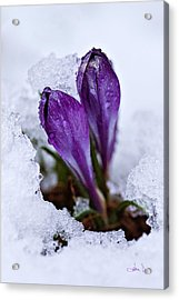 Acrylic Print featuring the photograph Spring Snow by Joan Davis
