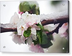 Spring Snow On Apple Blossoms Acrylic Print by Lisa Knechtel