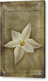 Spring Starflower Acrylic Print by John Edwards