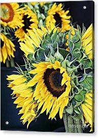 Spring Sunflowers Acrylic Print
