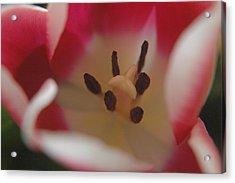 Spring Tulip Acrylic Print by Sharin Gabl