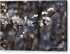 Spring White Blossom Acrylic Print