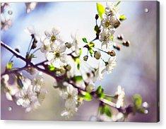 Spring White Cherry Tree  Acrylic Print by Jenny Rainbow