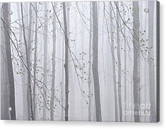 Acrylic Print featuring the photograph Spring Woodland Fog 1 by Alan L Graham