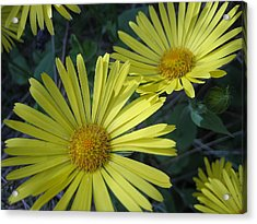 Acrylic Print featuring the photograph Spring Yellow  by Cheryl Hoyle
