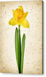 Spring Yellow Daffodil Acrylic Print by Elena Elisseeva