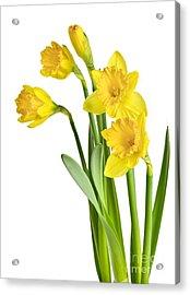 Spring Yellow Daffodils Acrylic Print by Elena Elisseeva