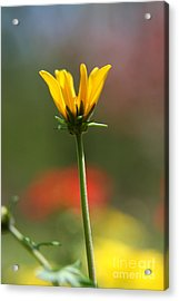 Spring Yellow  Acrylic Print by Neal Eslinger
