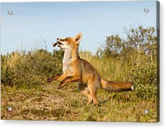Spring -young Fox Kit Playing With Moss Acrylic Print