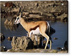 Springbok Drinking Acrylic Print by Stefan Carpenter