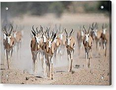 Springbuck Herd Moving To A Waterhole Acrylic Print