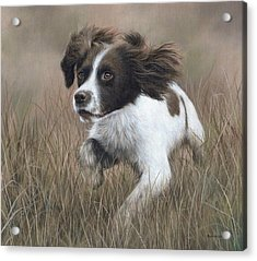Springer Spaniel Painting Acrylic Print