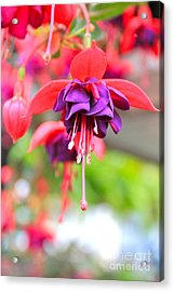 Springle Bells Acrylic Print