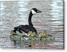 Spring's First Goslings Acrylic Print