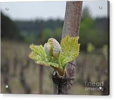 Spring In The Vineyard Acrylic Print by France  Art