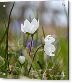 Springtime Blossom Acrylic Print by Kennerth and Birgitta Kullman