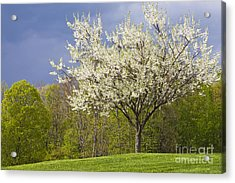 Springtime Blossoms Acrylic Print by Alan L Graham