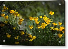 Springtime Poppies  Acrylic Print by Saija  Lehtonen
