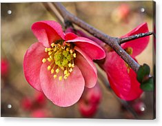 Acrylic Print featuring the photograph Springtime Quince by Julie Andel