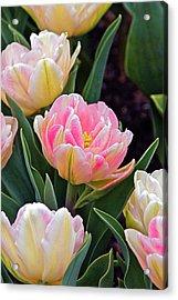 Springtime Sprites -- Parrot Tulips Acrylic Print