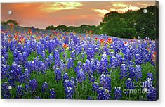 Springtime Sunset In Texas - Texas Bluebonnet Wildflowers Landscape Flowers Paintbrush Acrylic Print by Jon Holiday