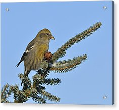 Spruce Cone Feeder Acrylic Print by Tony Beck