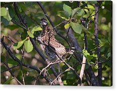 Spruce Grouse2 Acrylic Print by James Petersen