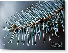 Spruce Needles With Water Drops Acrylic Print