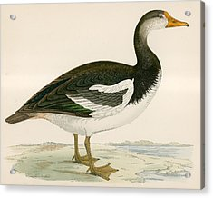 Spur Winged Goose Acrylic Print by Beverley R Morris