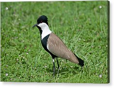 Spur-winged Plover Acrylic Print by Nigel Downer