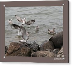 Squabbling Gulls Acrylic Print
