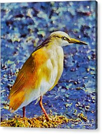 Squacco Heron Acrylic Print by George Rossidis
