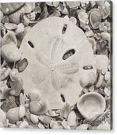 Square Sepia Sand Dollar Acrylic Print