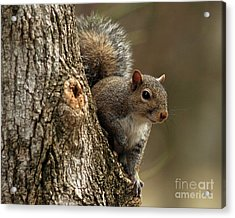 Squirrel Acrylic Print by Douglas Stucky